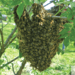 Swarm Prevention, Management, and Capture Hands-on Workshop