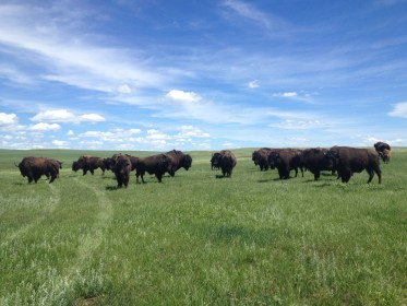 American bison at Fort Peck.
