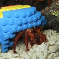 Harry the Hermit Crab in his Lego shell