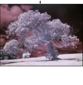 A tree on New Zealand's Mt. Victoria, photographed in 2006 by Daniel Schwen using a consumer-grade digital camera with an inexpensive infrared filter. The color is an in-camera effect. (link)