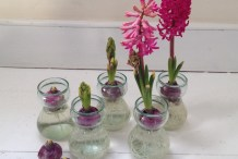Indoor Gardening: Forcing Hyacinths