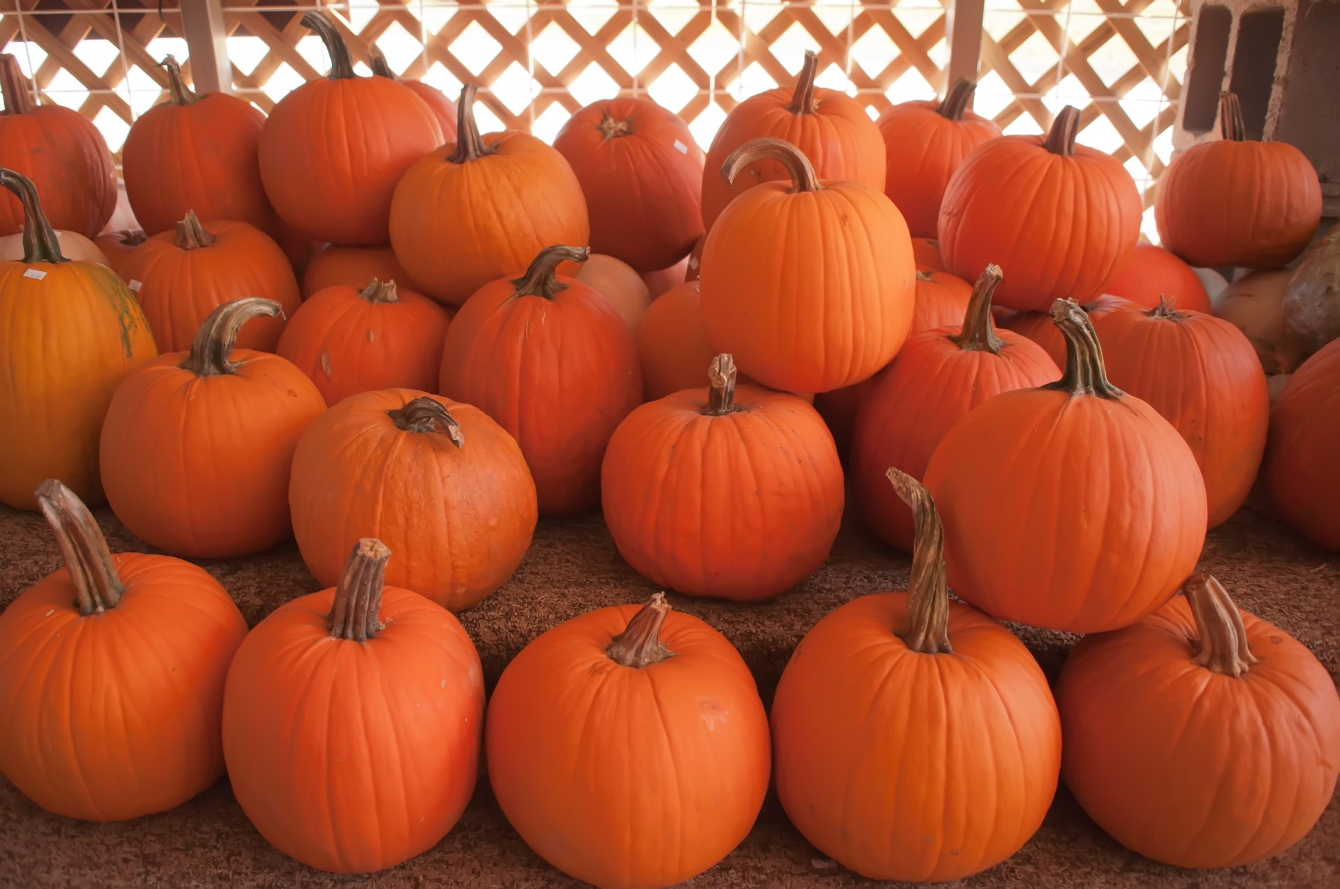 pumkins-on-a-pumpkin-patch