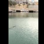 Muere el tiburón de Porto Pi