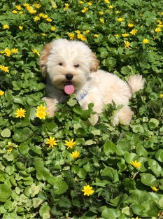 hitch-maltipoo-dog-56