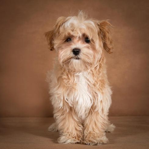 alvin-maltipoo-dog-34
