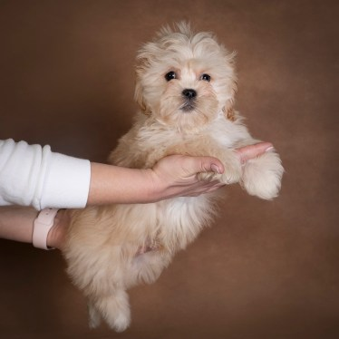 nick-maltipoo-dog-01