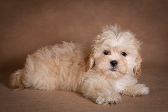 nick-maltipoo-dog-05
