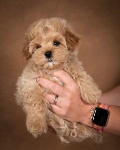 leon-maltipoo-dog-02