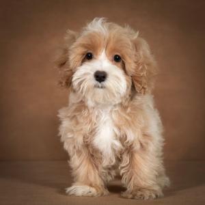 liana-maltipoo-dog-03
