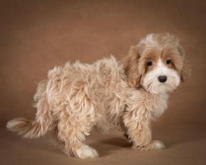 liana-maltipoo-dog-05