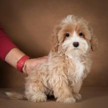 liana-maltipoo-dog-08