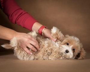 liana-maltipoo-dog-09