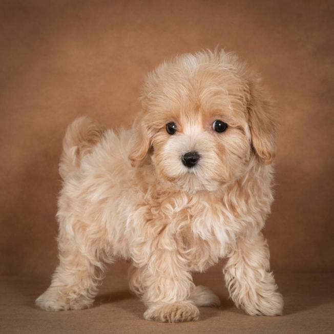 lisa-maltipoo-dog-01