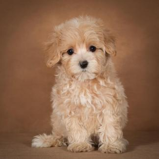 lisa-maltipoo-dog-02
