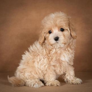 lisa-maltipoo-dog-03