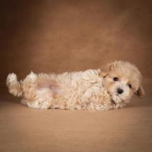 lisa-maltipoo-dog-05