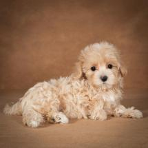 lisa-maltipoo-dog-06