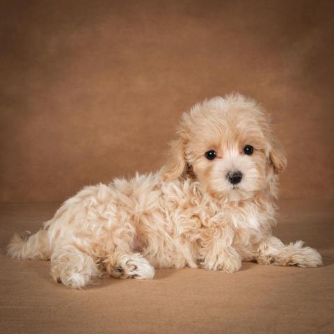 lisa-maltipoo-dog-06