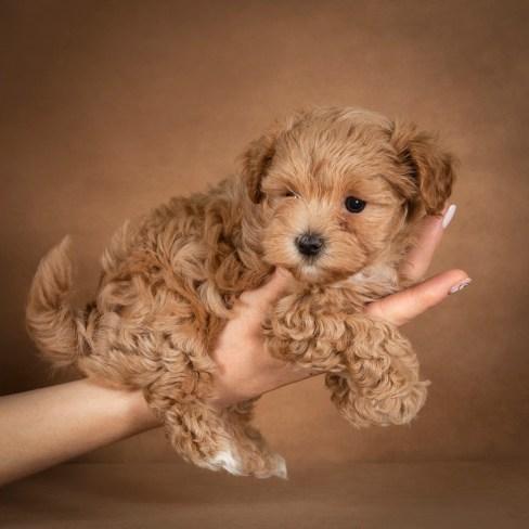 polina-maltipoo-dog-08