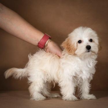 lavrenti-maltipoo-dog-01