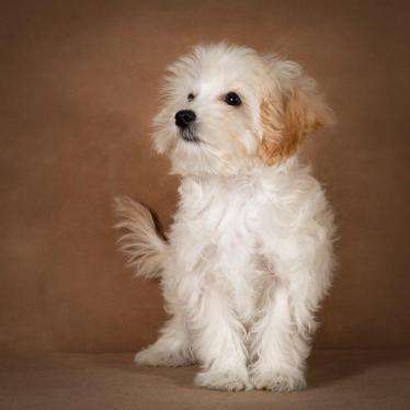 lavrenti-maltipoo-dog-02