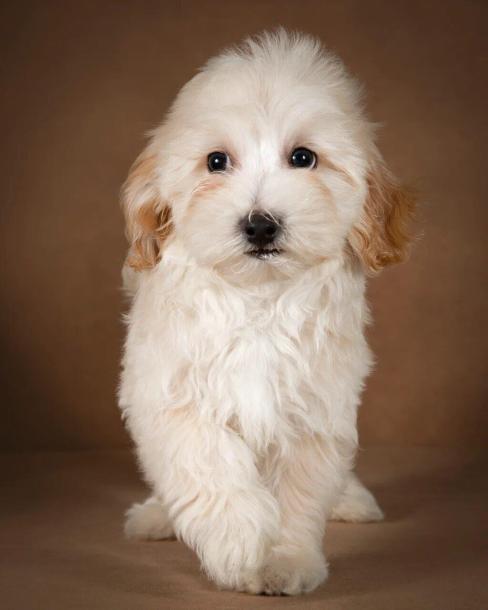 leopold-maltipoo-dog-02