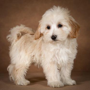 leopold-maltipoo-dog-03