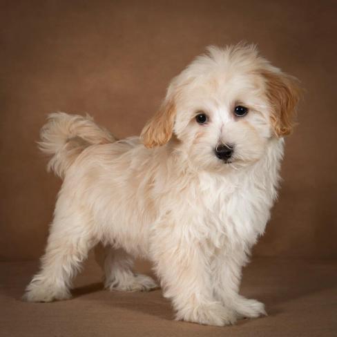leopold-maltipoo-dog-06