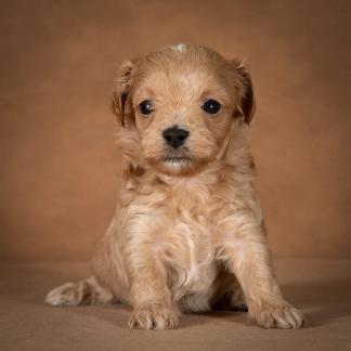 orphei-maltipoo-dog-09