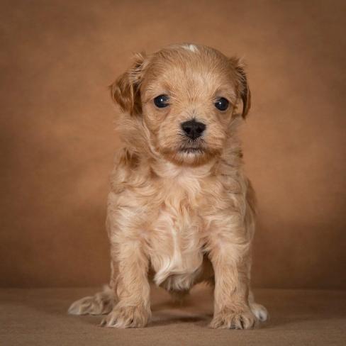 orphei-maltipoo-dog-10