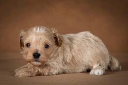 ostap-maltipoo-dog-08