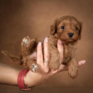 tayson-maltipoo-dog-06