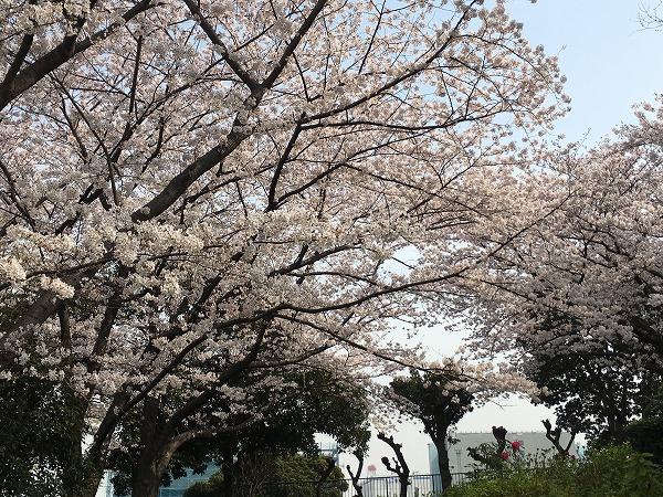 山下公園の桜の開花状況