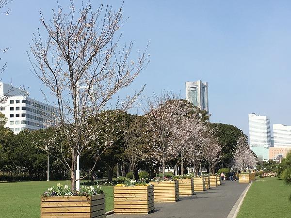 山下公園芝の広場の桜