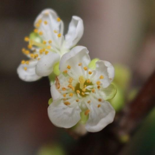 Kirschblüte Makro