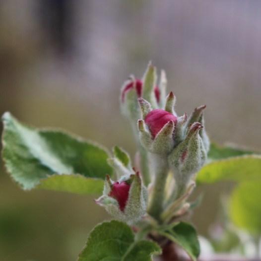 Apfelbaumblüte Makro Frühling Apfelbaum