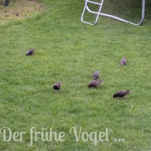 Der frühe Vogel Star im Garten