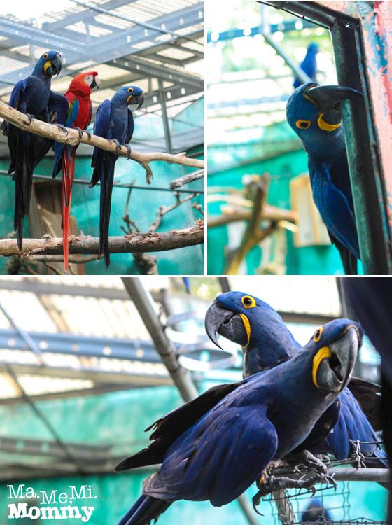 Hyacinth Macaw - So Cute!
