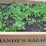 Salad crops