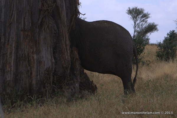 Elephant in a tree -- Tarangire National Park, Tanzania