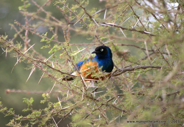Superb Starling -- Tarangire National Park Tanzania