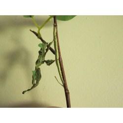 Small Crop Of Praying Mantis Egg Sack