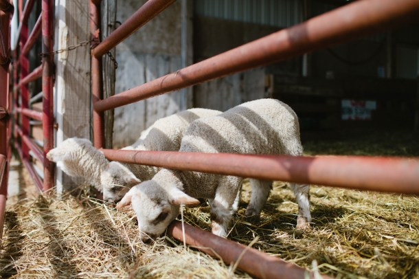 Lambs at Wolfes Neck