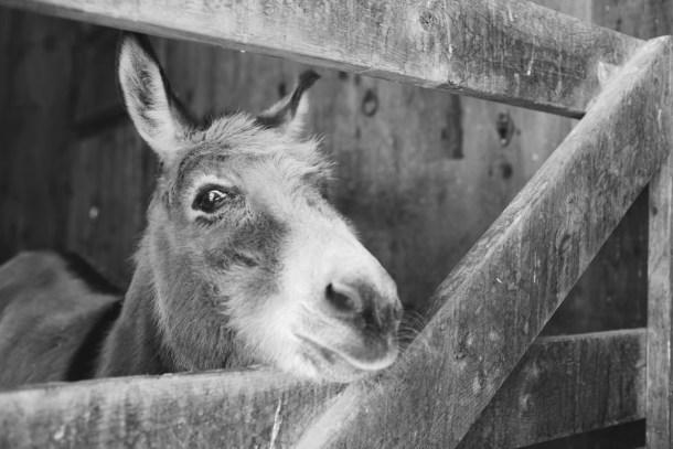 Callie the Donkey