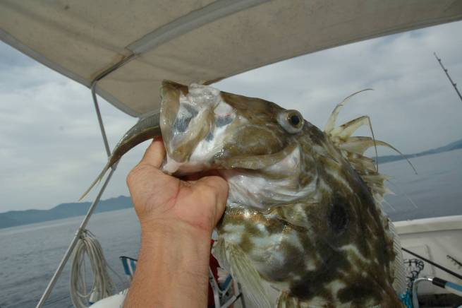 Il pesce vivo è sicuramente l'esca migliore per il san pietro