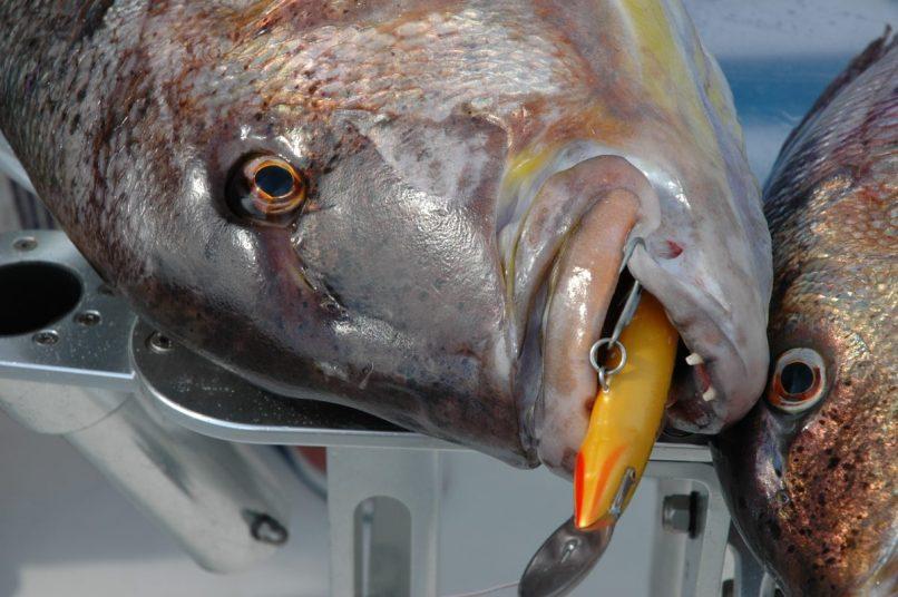 Dentice catturato in profondità con Rapala MAgnum paletta metallica