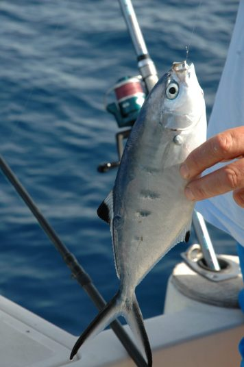 molto spesso pesci come la leccia stella abboccano anche all'amo nichelato privo di artificiale