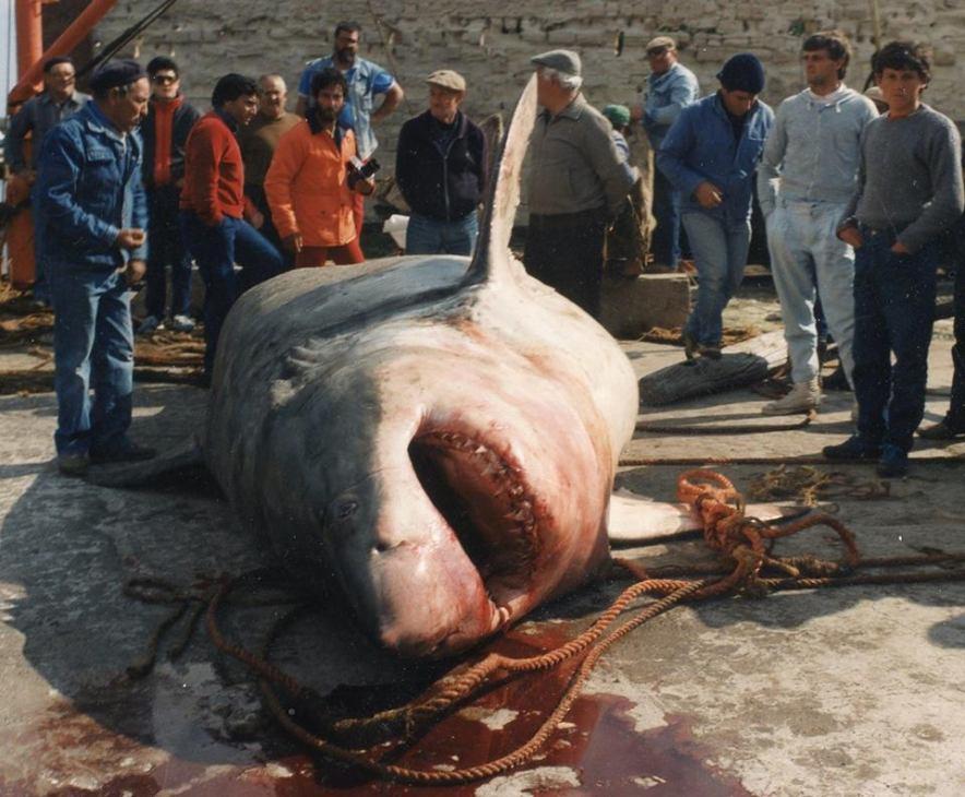 """da """" il giornale dei marinai"""" lo squalo bianco di Favignana08 maggio 1987"""