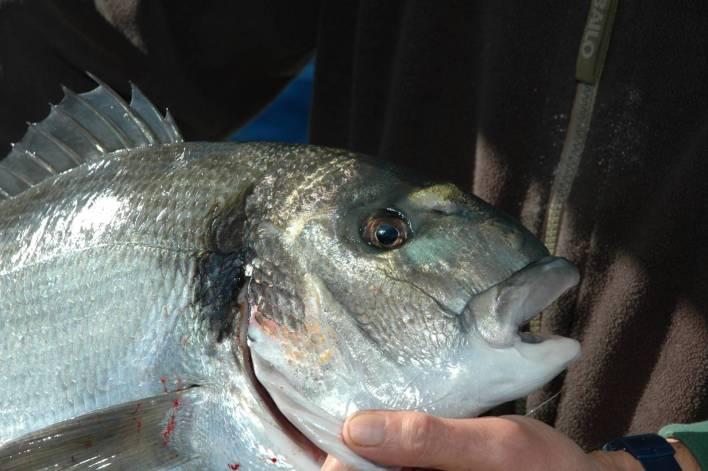 un pesce cattirato con la sarda intera