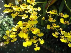 Chuva de ouro - Reprodução